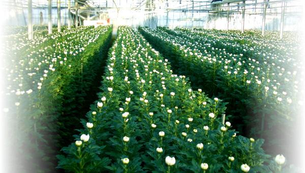 マーコの菊