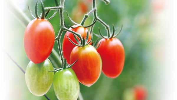 マーコのトマト